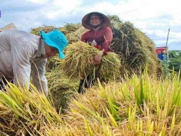 Rice output to hit 43 mln tonnes in 2012